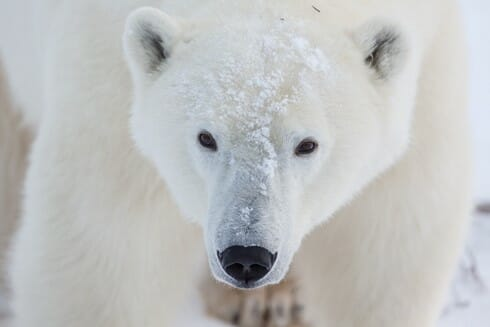 Polar Bear Claws and Paws | Skype in the Classroom