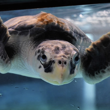 Flipgrid Live Event: Sea Turtle Rehab