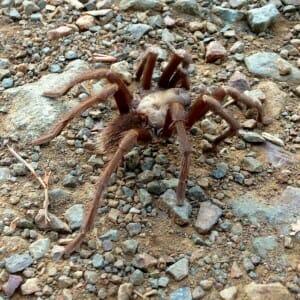 Tarantula Hikes | Mitchell Canyon Visitor Center
